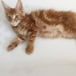 Active Register Maine Coon Girl