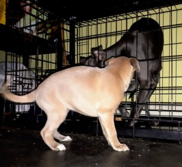 Kc Regd Whippet Pups