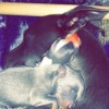 Pets  - Stunning Blue And White Whippets For Sale