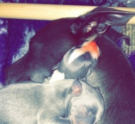 Stunning Blue And White Whippets For Sale