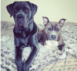 Pets for Sale - Cane Corso And Staffy Bitch