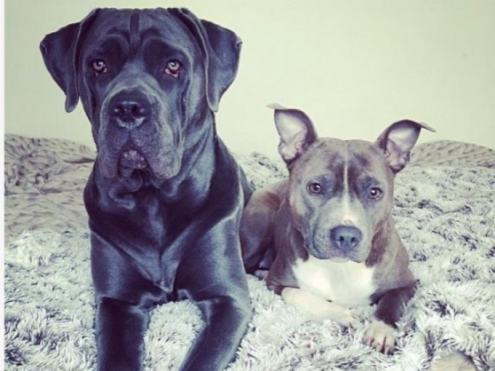 Cane Corso And Staffy Bitch