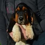 Basset Hound Puppy For Sale