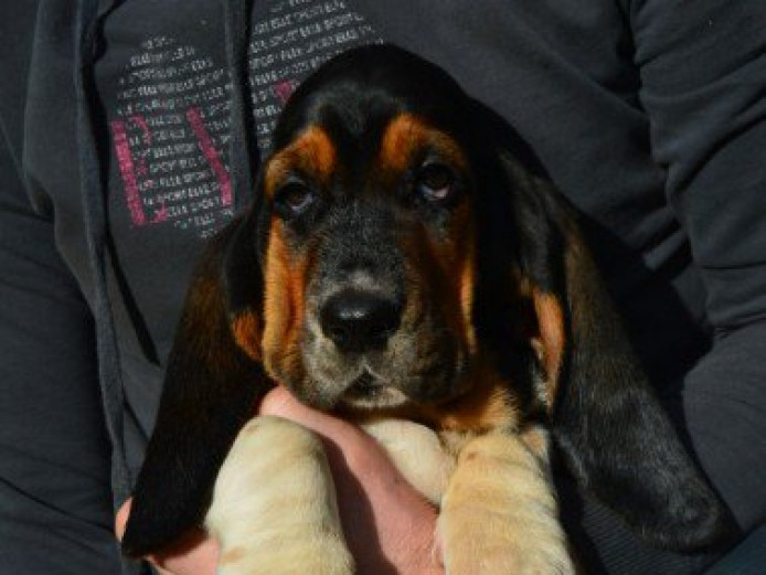 Basset Hound Puppy For Sale