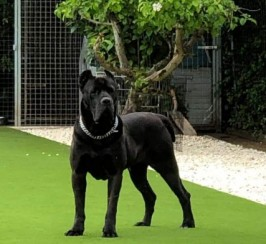 Champion Traditional Cane Corso Puppies