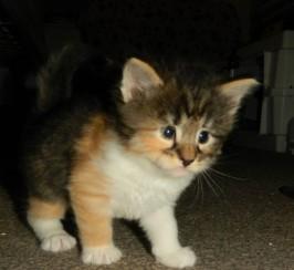 Beautiful Pedigree Norwegian Forest Kittens