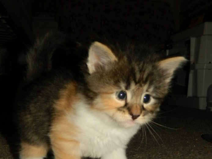 Beautiful Pedigree Norwegian Forest Kittens