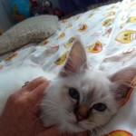 Birman Kitten For Sale