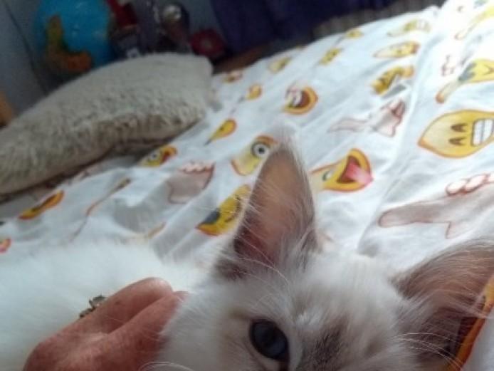 Birman Kitten For Sale