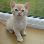 Beautiful Red Burmese Boy Kitten