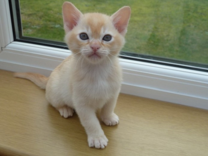 Beautiful Red Burmese Boy Kitten