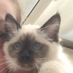 Gccf Registered Birman Kitten For Sale