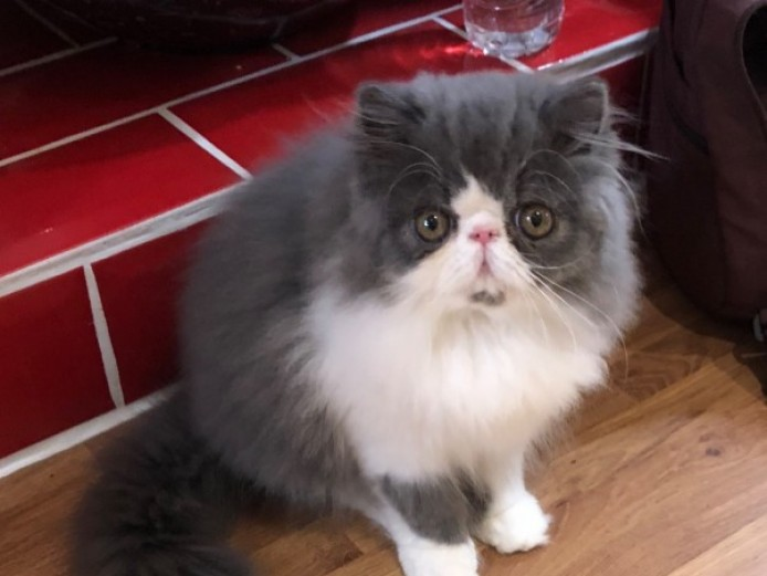Stunning Persian Baby Ready Now