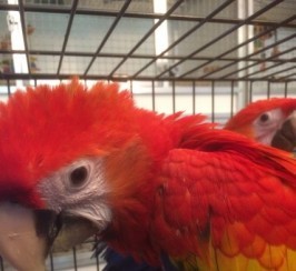 Beautiful Baby Greenwing And Scarlet Macaws
