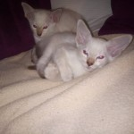 Stunning Balinese Kittens For Sale