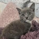 Russian Blue X Female Kitten