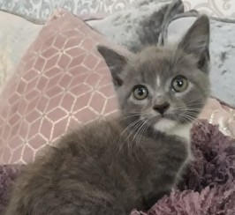 Russian Blue X Female Kitten