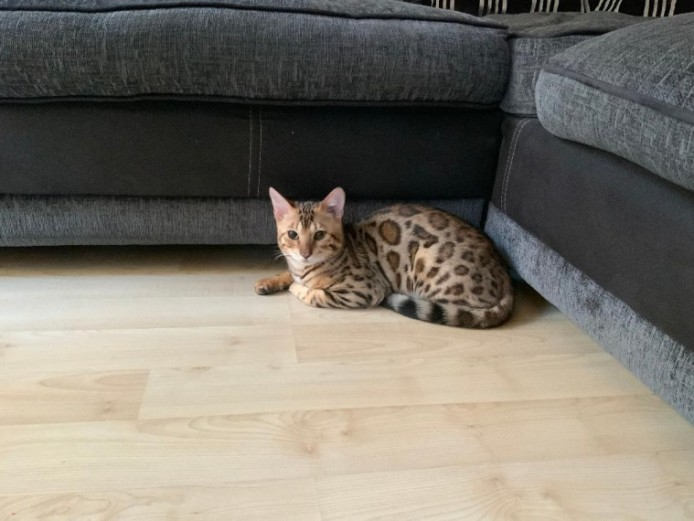 Bengal Kittens On The Active Reg From 695 Each