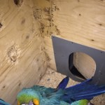 Bonded Pair Blue And Gold Macaw