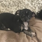 Stunning Kc Tiny Chihuahua Baby Boy