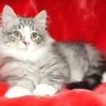 Super Full Pedigree Kittens For Sale