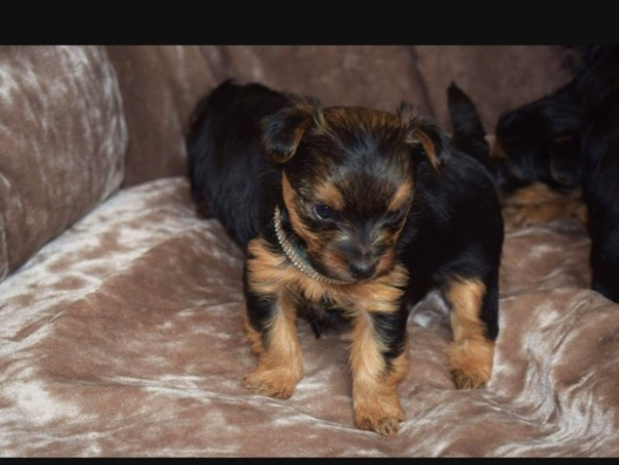 Beautiful Boys Yorkshire Terrier Puppies