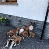 Pets  - Beautiful Boxer Puppies