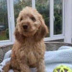 Fully Health Tested Show Type Cockapoo Ready Now