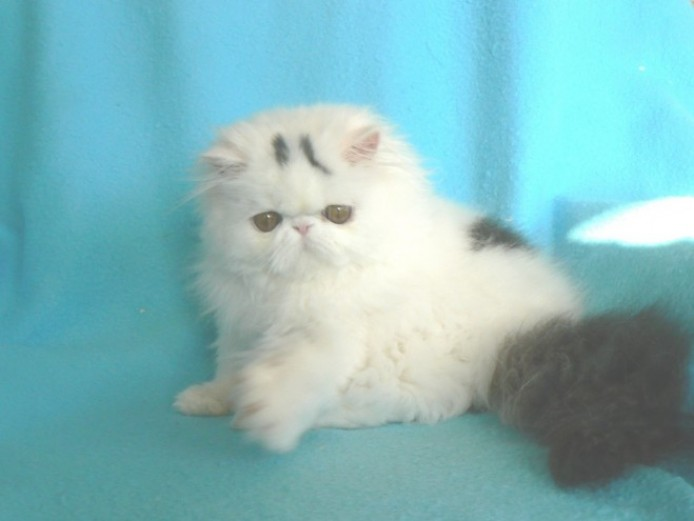Full Pedigree Persian Kitten Gccf Registered