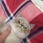 G.c.c.f Beautiful Exotic Persian Kittens