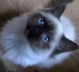 Birman Seal Point Blue Eyed Kittens. Indoor Only.