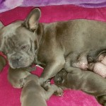French Bulldog Blue Puppies Kc Hc Clear 5 Weeks