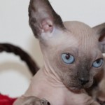 Sphynx Kittens Available For Reservation