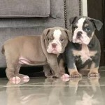 Kc Blue Tri Female Pup For Sale