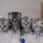 Looking For A Special Silver Kitten 2019.