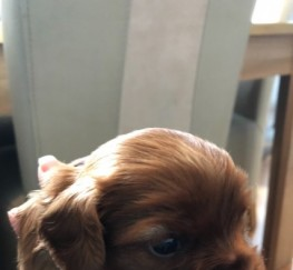 Pets  - Cavalier King Charles Pups