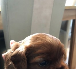 Cavalier King Charles Pups