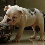 Blue Pied Kc Registered English Bulldog Male