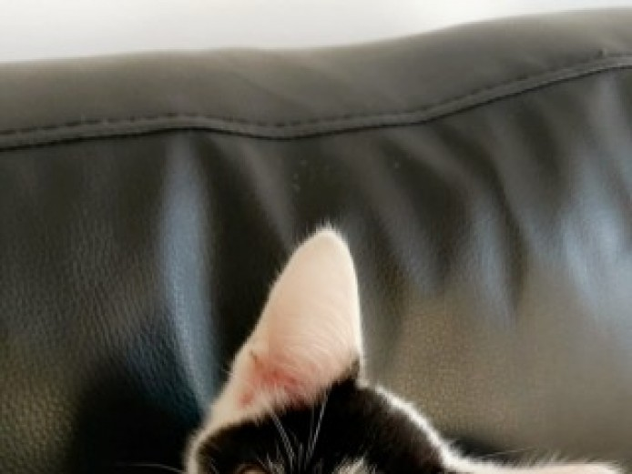 Scottish Fold. Wormed . Cats Scratcher