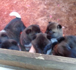 Beautiful American Akita Puppies