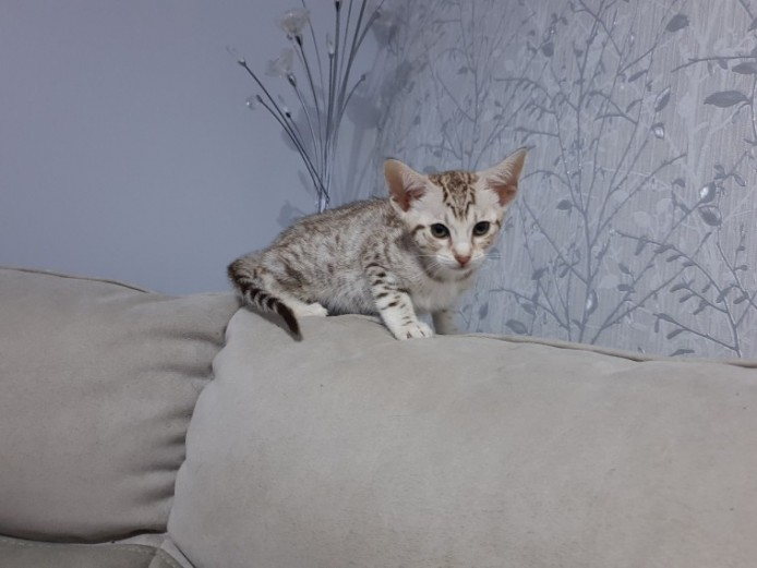 Gccf Registered Litter Of Ocicats .spotted Boys.