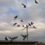 Birmingham Roller Pigeons Young Birds Good Rollers