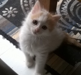 Now Reserved. Gorgeous Pedigree Turkish Van Kitten