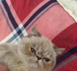 Blue Tabby Colourpoint Persian Exotic