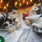 Adorable Siberian X Kittens 2 Left