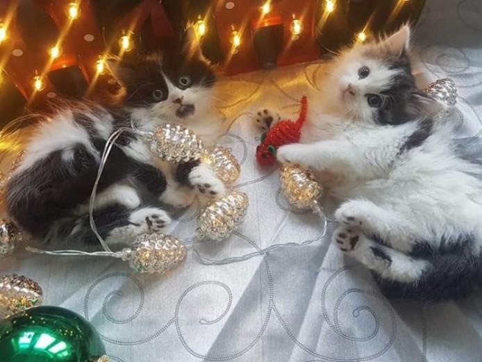 Adorable Siberian X Kittens 2 Left