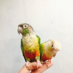 Hand Tame Baby Conur Talking Parrot