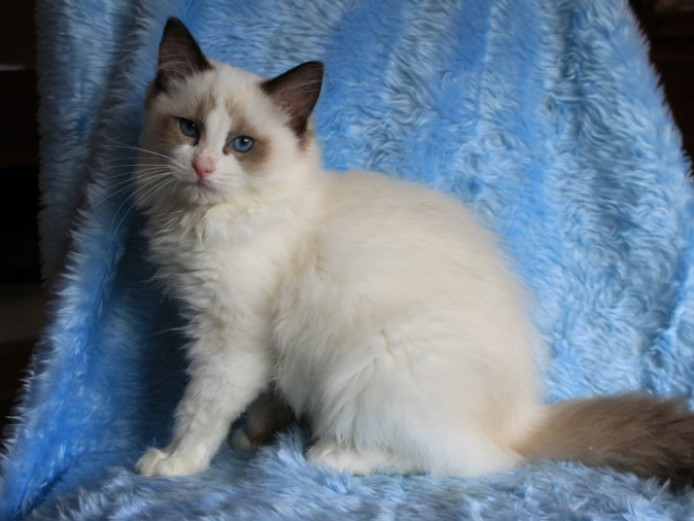 Ragdolls Kittens Active.pet