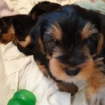 Yorkshire Terrier Pedigree Puppies 2 Girls Left