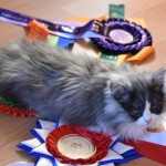 Sweet And Friendly British Longhair Male Kitten